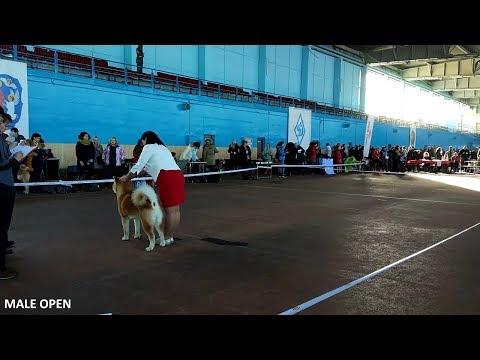 #MONO V GROUP 18.03.2018 | #AKITA INU #DOG SHOW BELARUS MINSK | #АКИТА ИНУ ВЫСТАВКА СОБАК #AKITASHOW