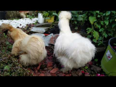 Silkie chickens looking at coyfish in pond.