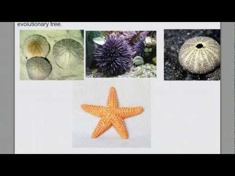 Invertebrate Diversity pt. 4- Echinoderms & Intro Chordates
