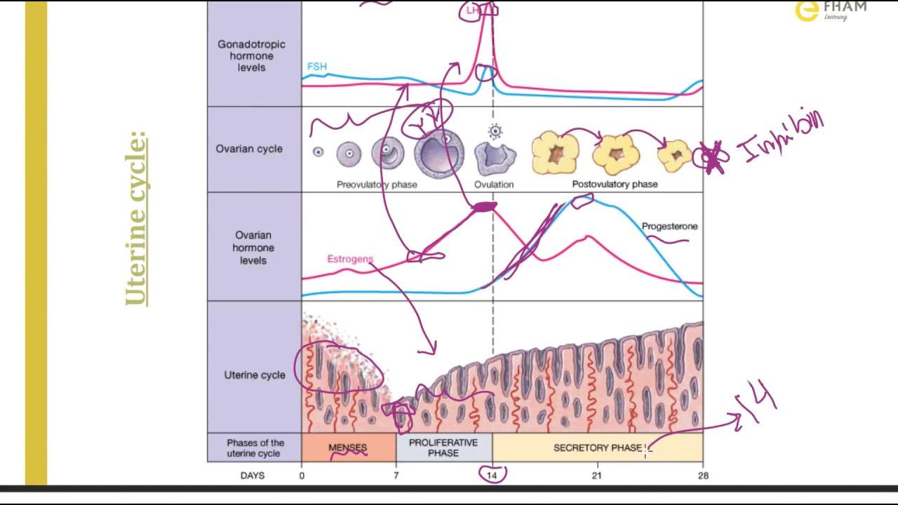 Ovarian & uterine cycles - YouTube