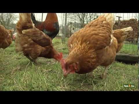 Votre poule pondeuse - Mes animaux de ferme - Tom&Co