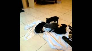 Staffordshire Bull Terrier Puppies Playing