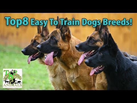 Top8 easy to train dogs breeds !!