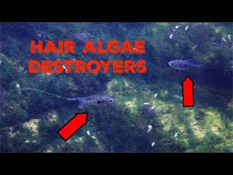 Tiny Fish I Hired To Destroy Hair Algae