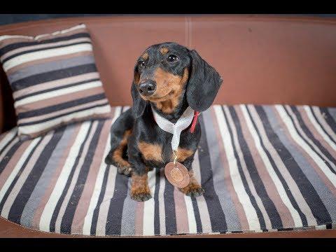Manny - Miniature Dachshund - 3 Weeks Residential Dog Training UK & USA
