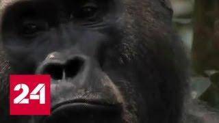 """10000 долларов за возможность """"надавать"""" горилле предлагал Майк Тайсон - Россия 24"""
