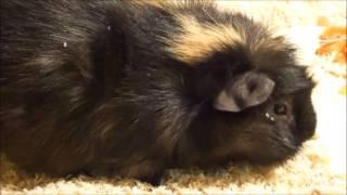 Абиссинская или розеточная морская свинка