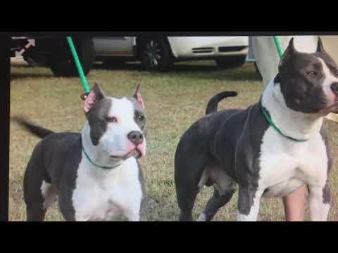 American Staffordshire Terriers, AmStaffs, Staffs, Staffordshire Terriers (NOT A PIT BULLS)