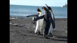 Funny Penguin Fight