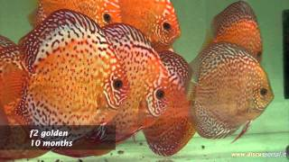 Hobbystic discus farm of Francesco Penazzi