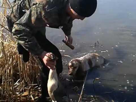 Охота на утку с русским спаниелем