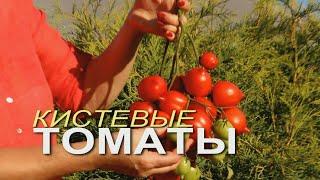 На одной КИСТИ этих УРОЖАЙНЫХ ТОМАТОВ вырастает до 50 плодов Советы от ЗЕЛЕНОГО ОГОРОДА