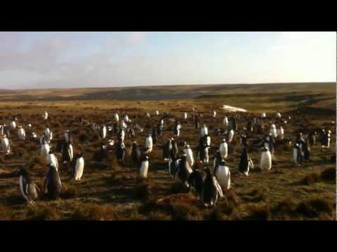 Penguins at Volunteer Point, Falkland Islands. VI