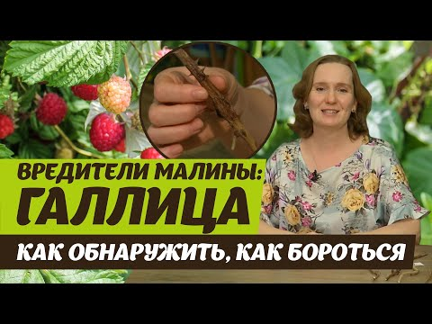 Вредители малины.  Галлица стеблевая и побеговая