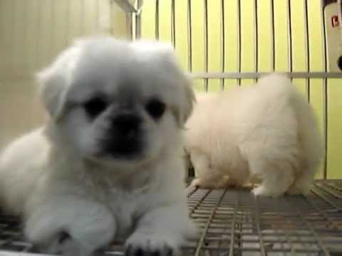Pekingese puppies for sale (Empire Puppies)