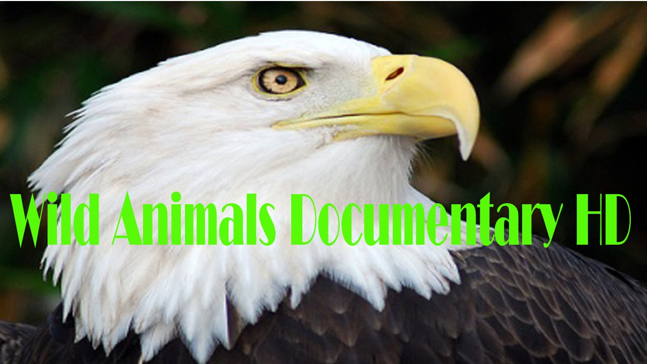 american eagle discovery wild animals documentary hd youtube