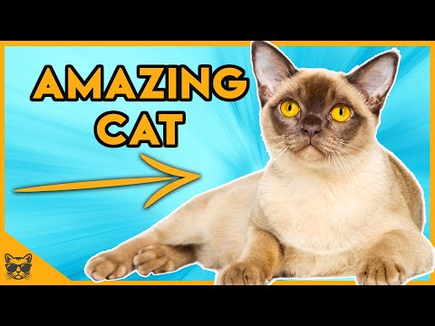 Facts About Burmese Cats  The Perfect Breed?