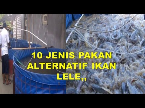 10 Jenis Pakan Alternatif Ikan Lele Agar Cepat Besar Youtube