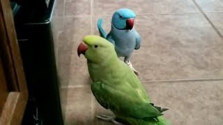 Parrots give each other kisses, admire their reflections