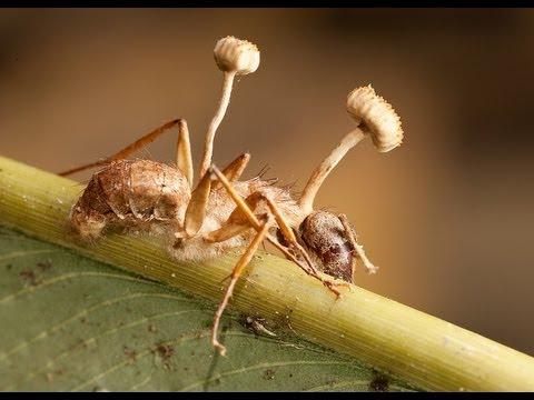 que hongos son parasitos en el ser humano