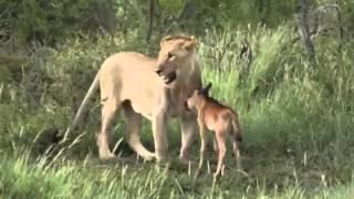 (Incroyable) Un lion qui protège un petit buffle...Regardez