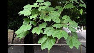 アオギリ(青桐)の性質・剪定・お手入れ ~葉が大きな植木~ 加須市・久喜市・幸手市の植木屋