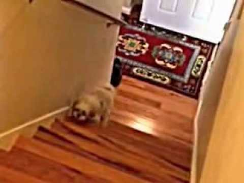 Cute Dog EPIC Stair Fail