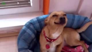 приколы с собаками  смешной пес веселые животные  лучшие приколы  новое
