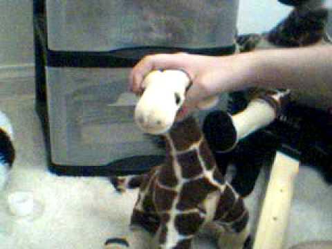 Dr. Giraffe Buy's a Parrot