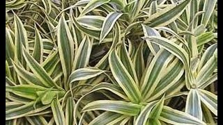 "Dracaena Reflexa - ""Song of India"" - A Great Tropical Foliage Plant You Should Know About"