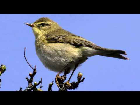 Willow Warbler Bird call Bird song