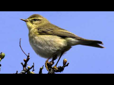 Willow Warbler Bird call Bird song