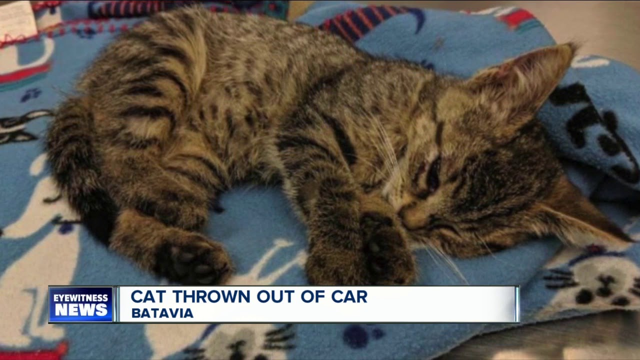 Cat thrown out of car in Batavia