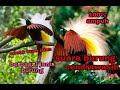 Suara Burung Cendrawasih Cocok Buat Masteran Berbgai Jenis Burung  Ampuh  Mp3 - Mp4 Download
