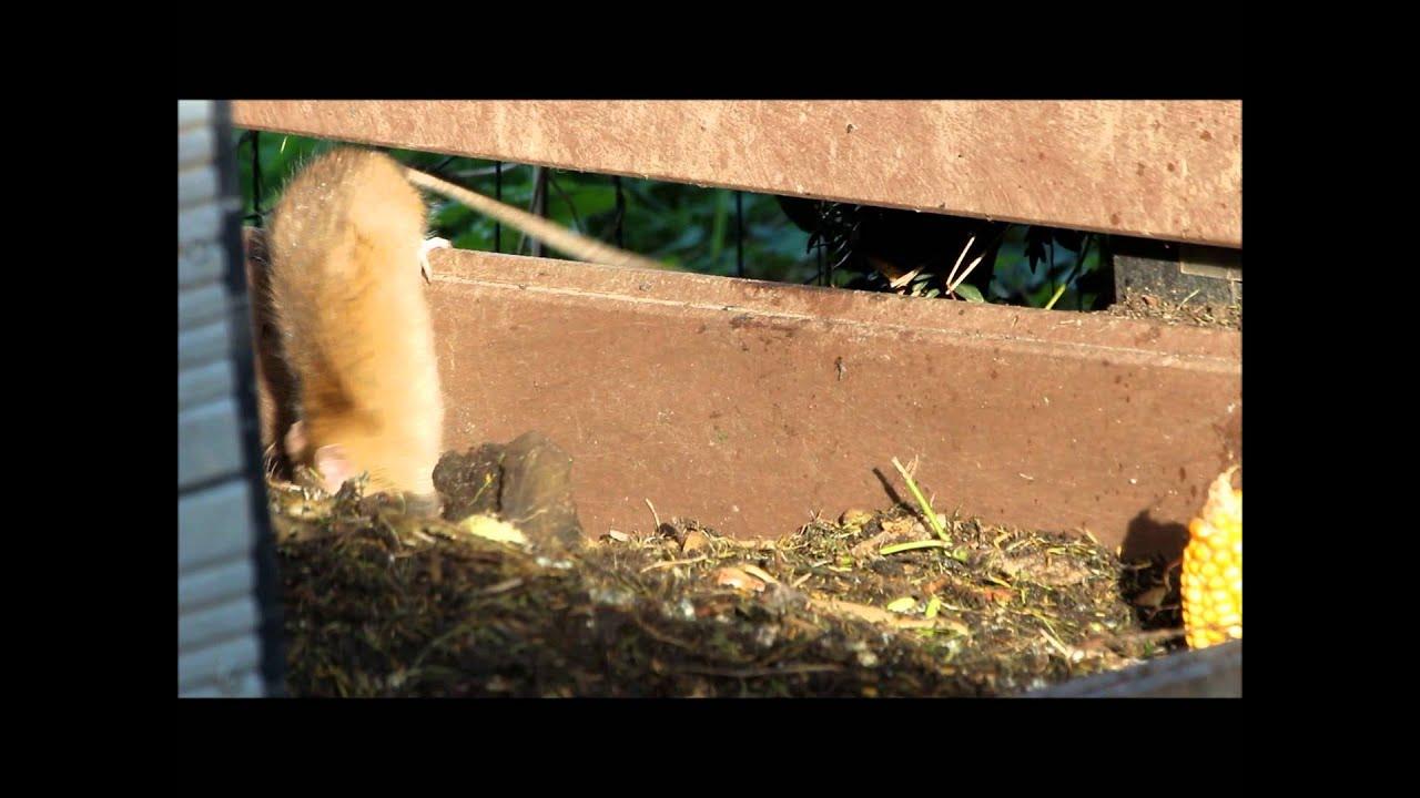 composthoop ratten