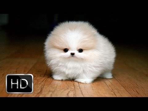 Fluffy Puppies Are Very Happy thumbnail