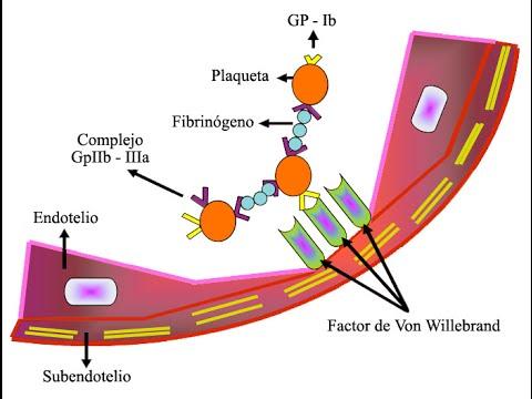 Von Willebrand disease Internal Medicine for USMLE Step 2 ...
