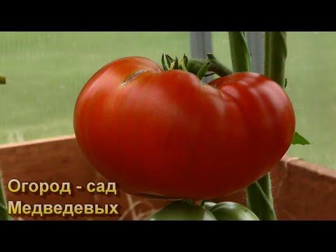 Как увеличить урожайность томатов в момент начала созревания