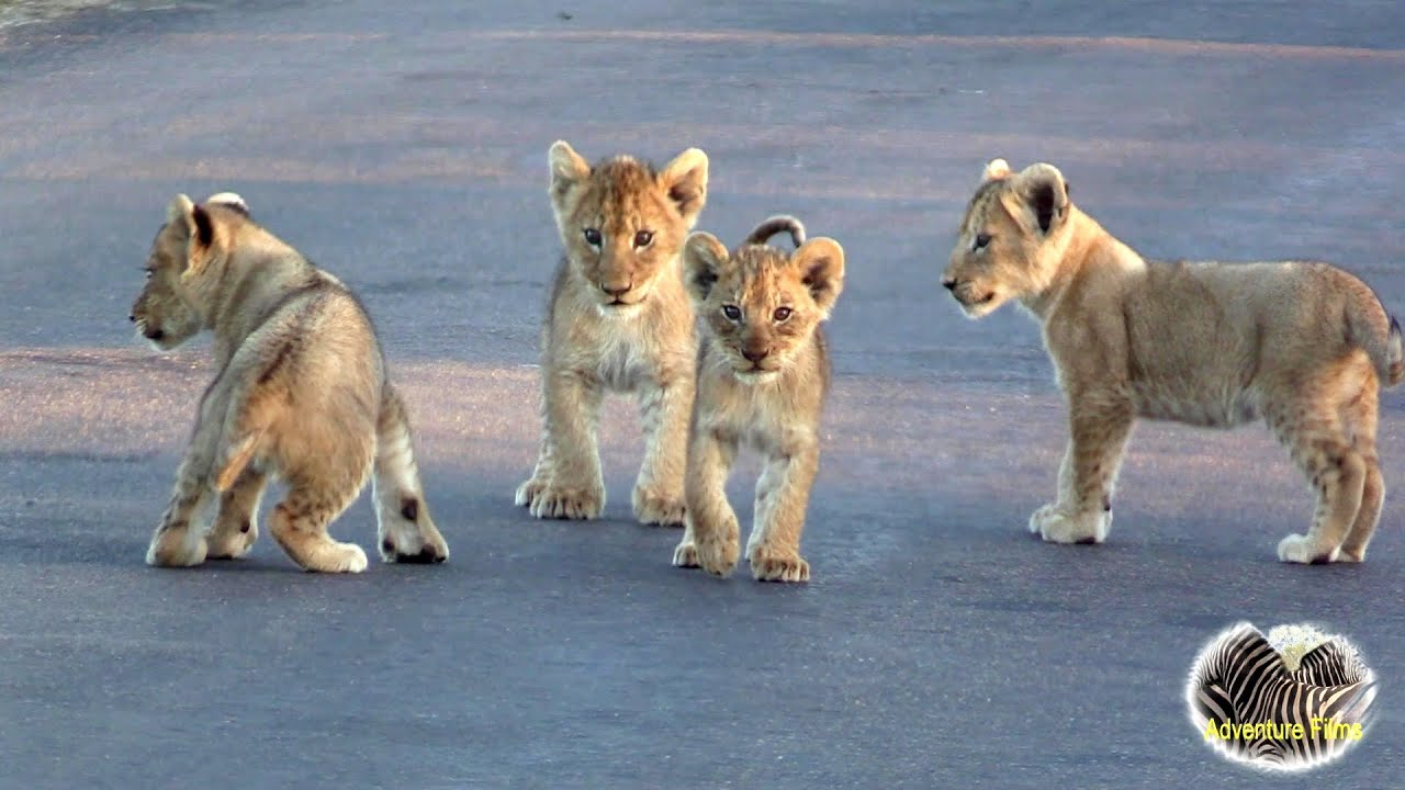 Cute Baby Lion Cubs Playing In The Road