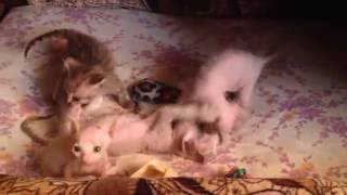 Котята сфинкса. Донской сфинкс. Купить сфинкса с родословной.