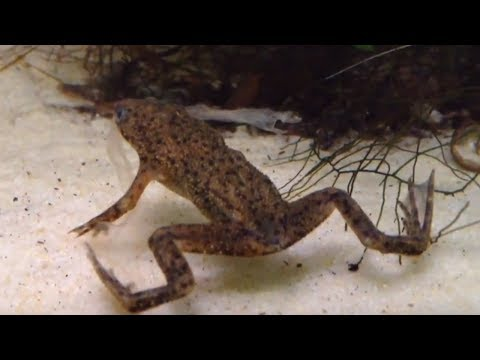 African Dwarf Frog Shedding