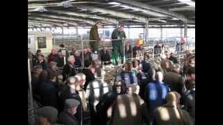 Shrewsbury Livestock Auction Christmas Sale of Sheep