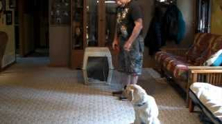 Yellow Labrador Puppy Training - Gracie 5 Months Old Series 2 - House Training