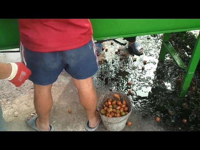 Мойка и чистка грецкого ореха после уборки.