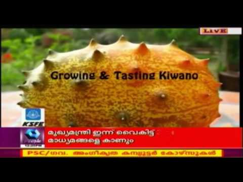 African Horned Melon/Kiwano Cultivation Gaining Popularity In Kerala