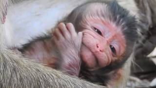 Newborn with adorable face, Just born baby monkey, Newborn Lori with Mom Amari