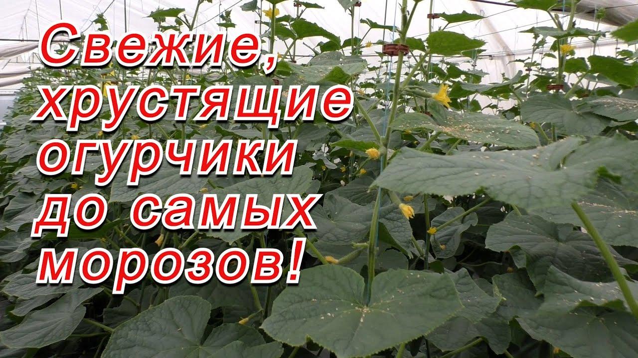 Осеннее выращивание огурцов в теплице- как это делается!