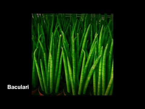Different Types Of Sansevieria