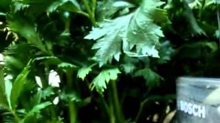 Рецепт приготовления настойки из сельдерея