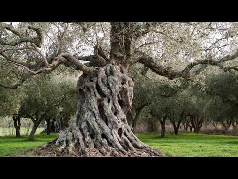 HARVESTING OLIVES IN ZAKYNTHOS, GREECE